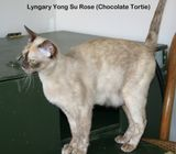 BEAUTIFUL  BURMESE  EX  BREEDING  QUEEN AVAILABLE