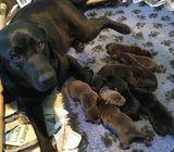 Pedigree Chocolate Labrador Puppy