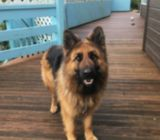 Beautiful German Shephard girl is looking for a stud