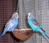 Young Blue Budgies
