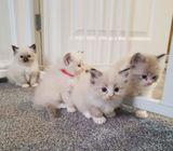 Lovely Ragdoll kittens available