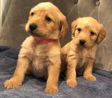 Gorgeous labradoodle Pups