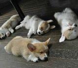 Adorable Welsh Corgi-Pembroke Puppies