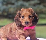 Shaded Red Dachshund Puppies For sale