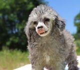 Celeste Blue Eye blue merle Poodle toy Puppy For sale