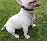 English bull terrier MALE STUD