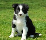 Male & Female Border Collie Puppy For Sale