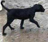 Huntaway Puppy