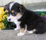 Welsh Corgi, Pembroke Puppies for Sale