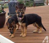 German Shepherds Puppies