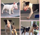 NZKC Bull Terrier puppies For sale.