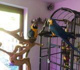 Blue And Gold Macaws Parrot With Large Cage And Java