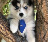 Blue Eyes Alaskan Malamute  puppies