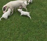 2 Miniature Bull Terrier for sale!