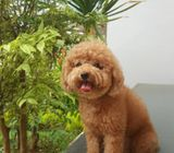 12 Weeks Old male and female poodle puppies for sale