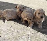 Adorable Kc Reg Toy Poodles Puppies For Sale