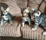 Exotic Bengal/Savannah Kittens For Sale ...