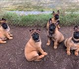 Pure male and female German Shepherds Puppies for sell