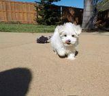 Champion Sired, K.c Registered Maltese puppies.