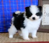 Simba Pomeranian Puppy For Sale
