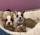 Stunning French Bulldog Pups Available