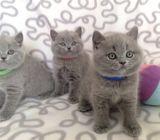 Pure Pedigree British Shorthair Kittens
