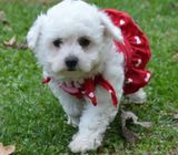 BEAUTIFUL BICHON FRISE PUPPY READY TO LEAVE NOW