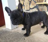 BEAUTIFUL FRENCH BULLDOG PUPPY READY TO LEAVE NOW