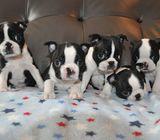 Kc Reg Boston Terrier