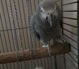 Ringed African grey parrots