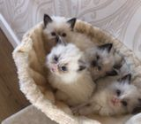 Quality Ragdoll Kittens