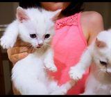 Male & Female Munchkin Kittens