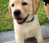 Labrador and Golden Retriever puppies
