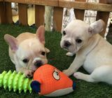 Male and Female French Bulldog for Sell