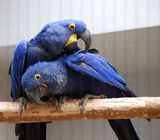 Cute Hyacinth Macaw Parrots