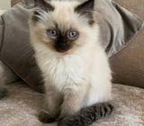 Stunning Ragdoll Kittens Almost Ready