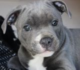 Staffordshire Bull Terrier pups For Sale NZ