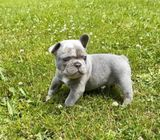 Adorable Frenchie pups male only