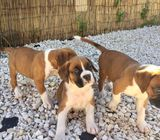 Two Top Class Boxer Puppies Available