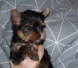 Cute AKC registered yorkie both male and female available