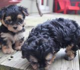 Top class morkie  terrier puppies available
