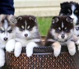 Lilly Pomsky Puppy For Sale
