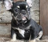 Kristy French Bulldog Puppy For Sale