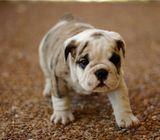 Dynamite English Bulldog Puppy For Sale