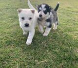 Blue eyes siberian husky puppies