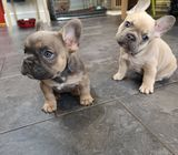 Adorable Frenchie Pups