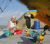 Amazing marcow parrots for  rehoming.