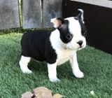 Male and Female Boston Terrier Available