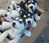 Siberian Husky Puppies male and female