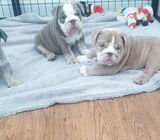 Stunning English Bulldog puppies
